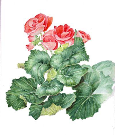 Elatior begonia (Riegers begonia). Botanical Art, Botanical painting, Flower painting.