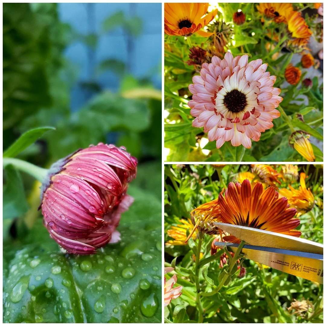 All About Calendula How to Grow, Harvest, Dry, & Use