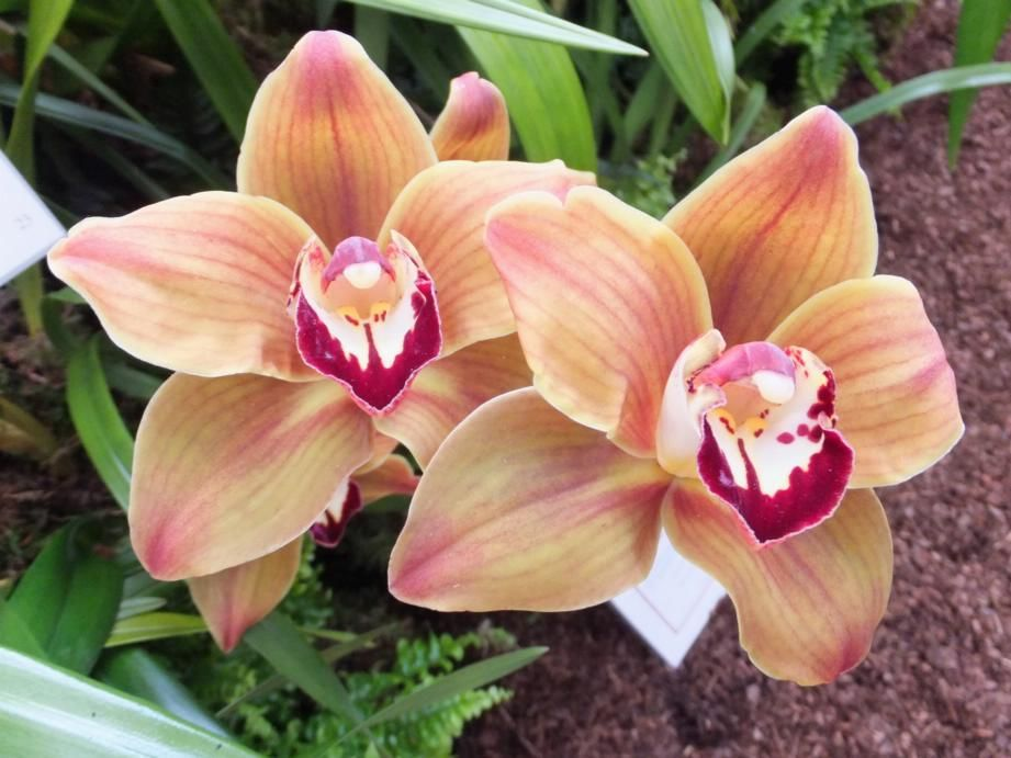 Cymbidium Mighty Mouse Minnie Orchids Beautiful Orchids Beautiful Flowers