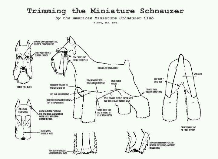 Schnauzer Haircut Diagram Great Installation Of Wiring Diagram