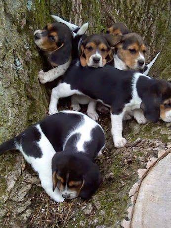 Sweet Beagles Beagles So Sweet Cute Dogs Breeds Dogs Beagle