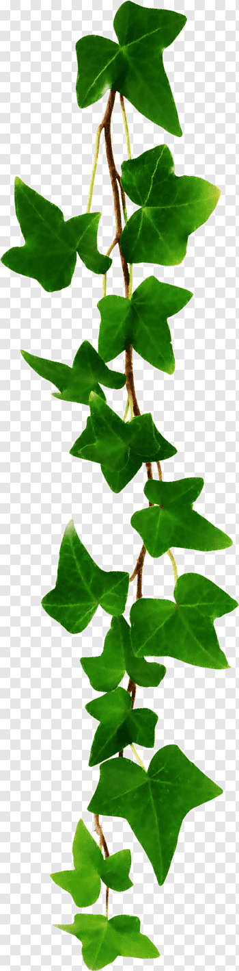Pin By Zoe On Painting Ivy Leaves Common Ivy Plant Leaves Vine Leaves