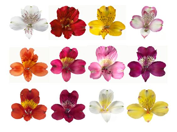 Alstroemeria Lilly Flower Alstroemeria Wholesale Flowers