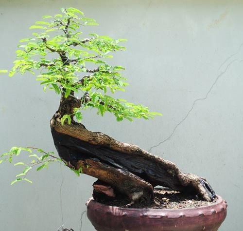 bonsai bonsai shohin bonsai penjing pinterest bonsai bonsai baum and baum. Black Bedroom Furniture Sets. Home Design Ideas