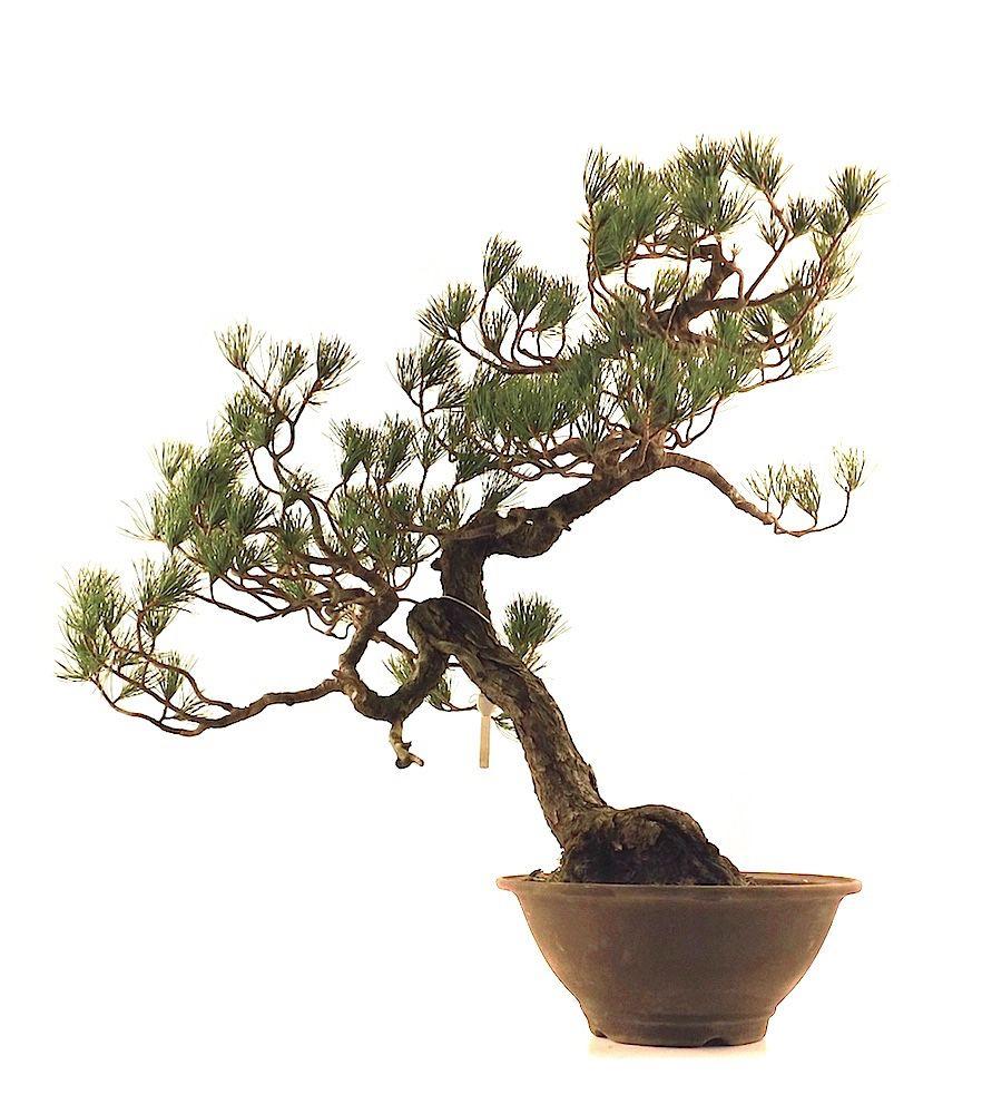 BONSAI PINUS PENTAPHYLLA NON GREFFÉ DE 65 CM DE HAUTEUR BONSAI DE COLLECTION D'IMPORTATION JAPONAISE BONSAI DISPONIBLE A LA VENTE EN LIGNE CHEZ www.sankaly-bonsai.com http://www.sankaly-bonsai.com/achat-vente-acheter-bonsai-exterieur-feuillus-sankaly-bonsai/3647-achat-bonsai-pinus-pentaphylla-pin-blanc-du-japon-65-cm-ppjp150303-sankaly-bonsai.html #bonsai #pinus #pentaphylla