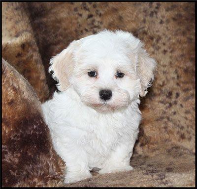 Adult Maltipoo Adult Maltipoo Male Maltipoo Puppy Cute