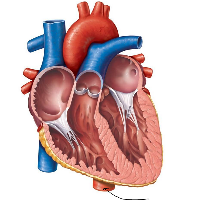 5descendingaorta 1422aa6d98e5012efe4g 688678 medicine anatomical heart diagram anatomy of the heart unlabeled clipart best ccuart Choice Image