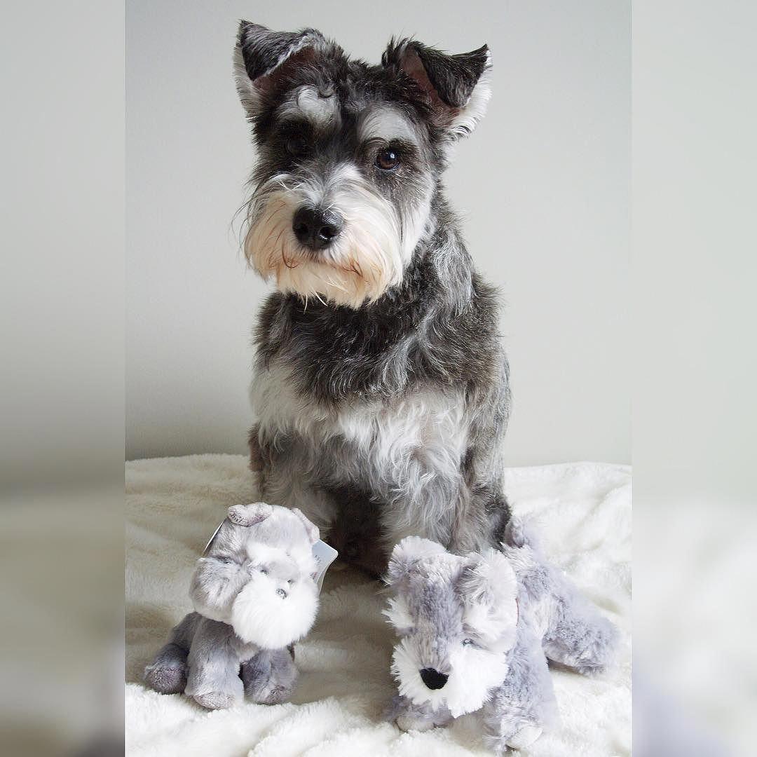 Miniature Schnauzer Smart And Obedient Most Popular Dog Breeds