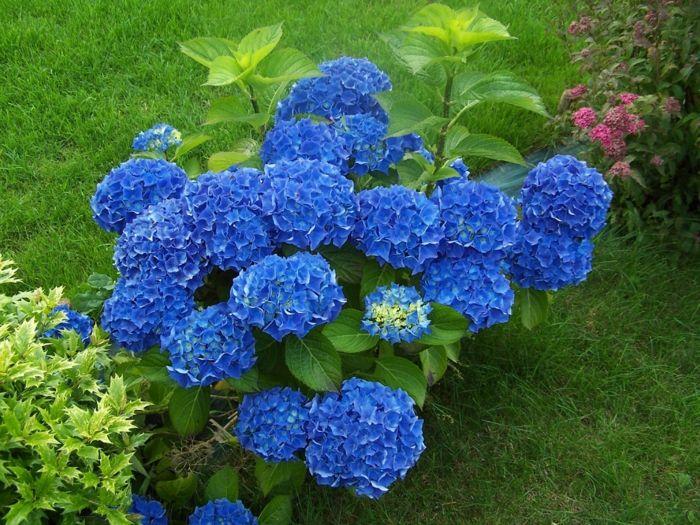 ▷ blaue Hortensie sorgt für eine prächtige Farbe im Garten