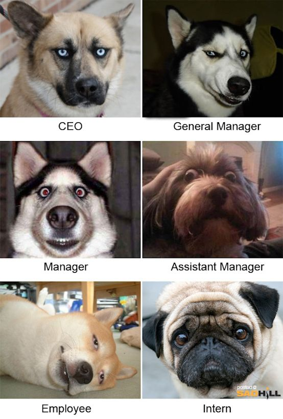 The Dog Office Chain Of Command Photo Funny Dog Faces Funny