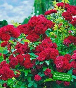 BALDUR-Garten Rambler-Rosen \'Chevy Chase\', 1 Pflanze #Gartenideen ...