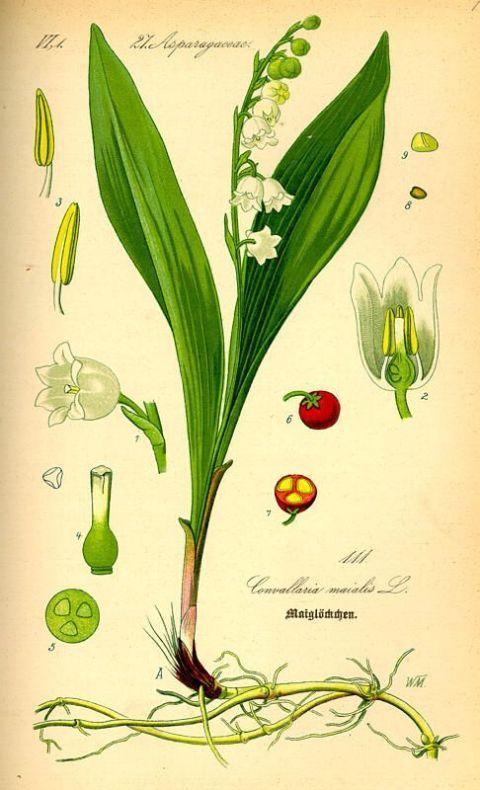 """Convallaria majalis (Lily of the Valley) - From """"Flora von Deutschland, Österreich und der Schweiz"""" by Prof. Dr. Otto Wilhelm Thomé - 1885"""