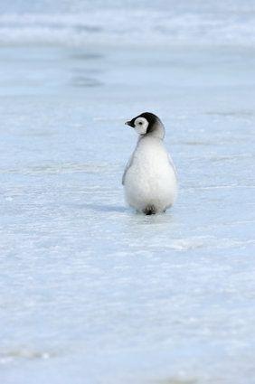 penguin chick?