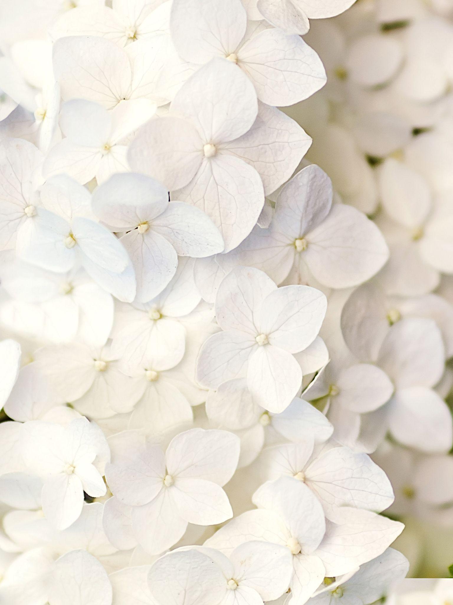 White flowers Цветочные фоны
