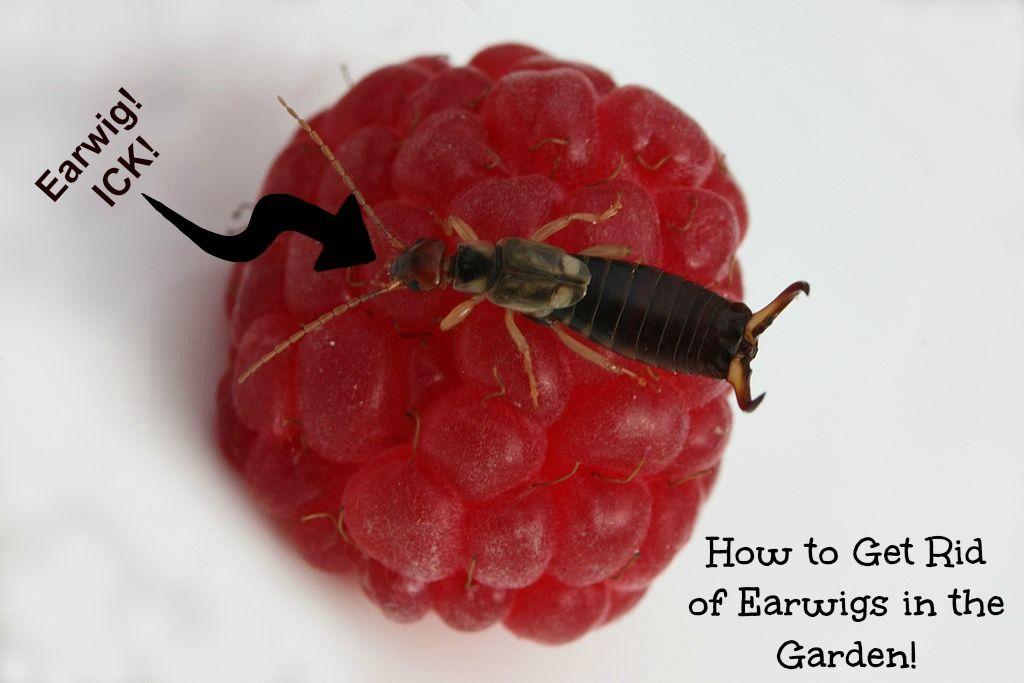 Diy Earwig Trap To Get Rid Of Earwigs Without Chemicals Gardening Tips And Pics Pinterest