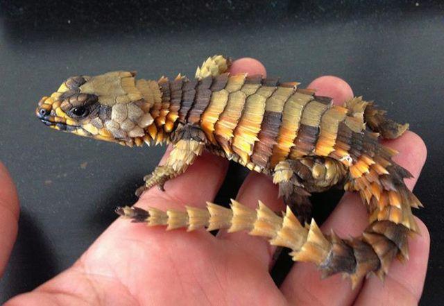 ドラゴンが現実に 神は アルマジロトカゲ を創りたもうた 間違いなく会心の出来映え Ddn Japan アルマジロトカゲ トカゲ は虫類