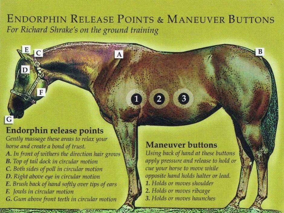 A horse's endorphin release points AND maneuver buttons.  Very good to know!