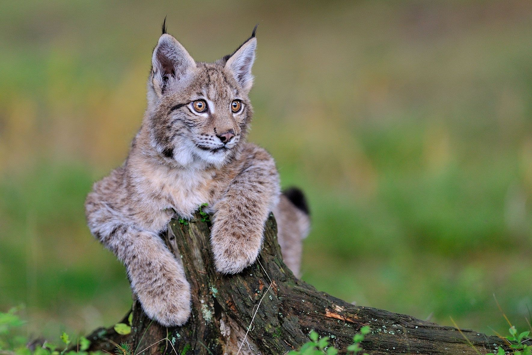 Linx by Jiří Novotný on 500px Wild cats, Animals wild