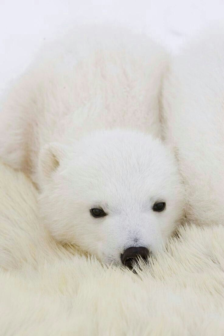 Cub Snuggles Mamas Soft Fur! Polar bear cub, Baby polar