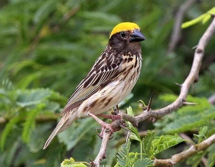 Ciri Burung Manyar Jantan Trotol Yang Membedakannya Dengan Betina Burung Betina Jalak
