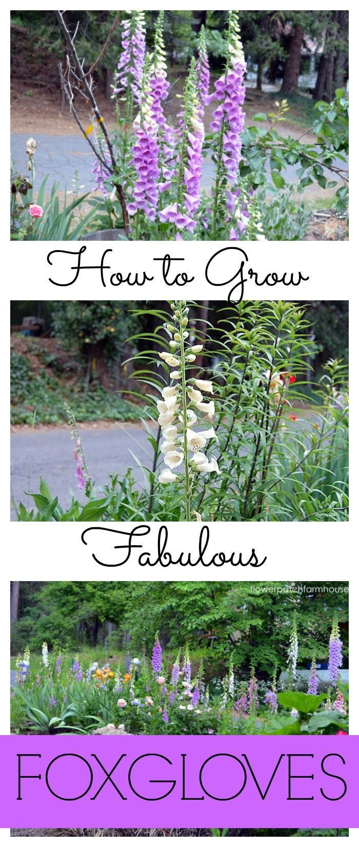 How to Grow Foxgloves  Flower Patch Farmhousefarmhouse