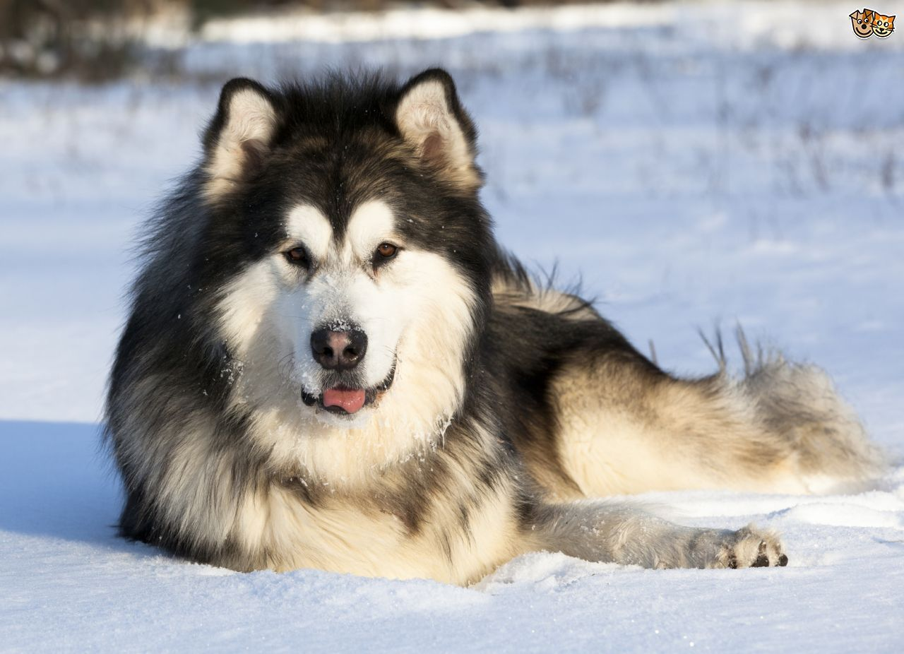 11 Big Fluffy Dog Breeds Perfect To Cuddle With Malamute Puppies