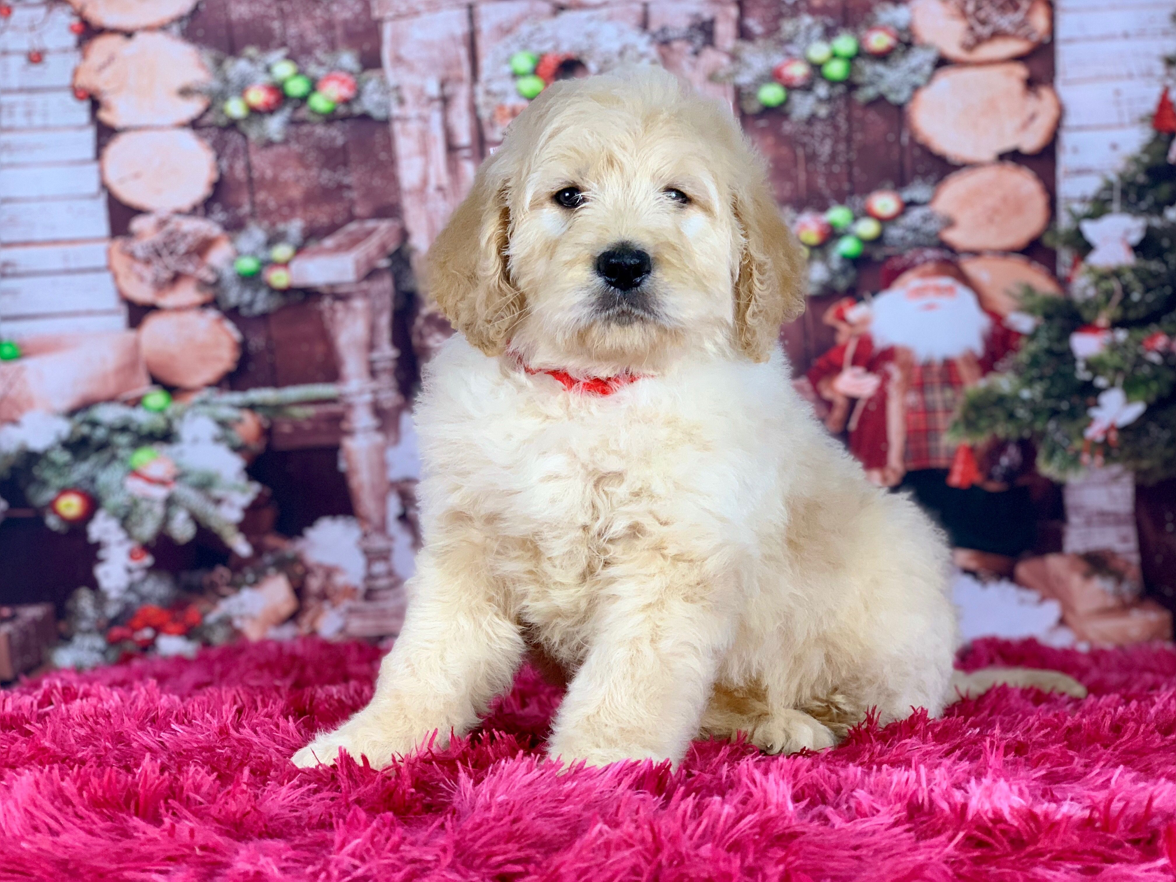 Goldendoodle Male Puppy Goldendoodle Happy Puppy Puppies
