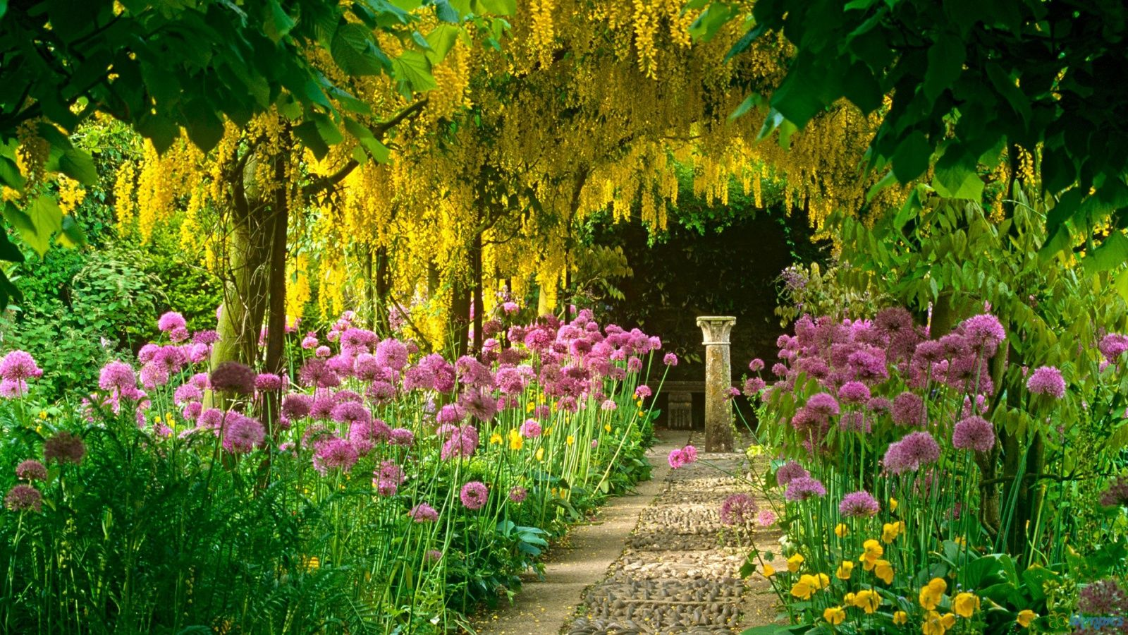 Laburnum aka Golden Chain Tree Looks very much like wisteria