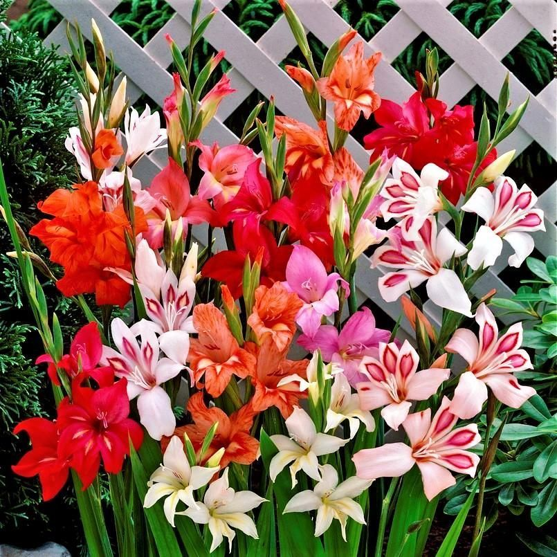 Gladiolus Nanus Hardy Easy To Grow Mix Easy Gladiolus Grow Hardy Mix Nanus In 2020 Easy To Grow Bulbs Gladiolus Carlsbad Flower Fields