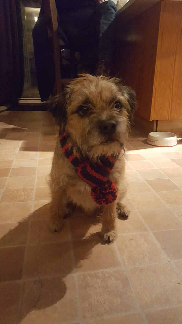Ratchet Rocking His New Scarf Brown Dog Border Terrier Terrier