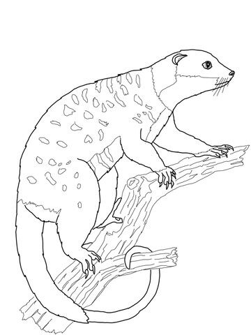 Zarigüeya Cuscús Dibujo para colorear | animales | Pinterest