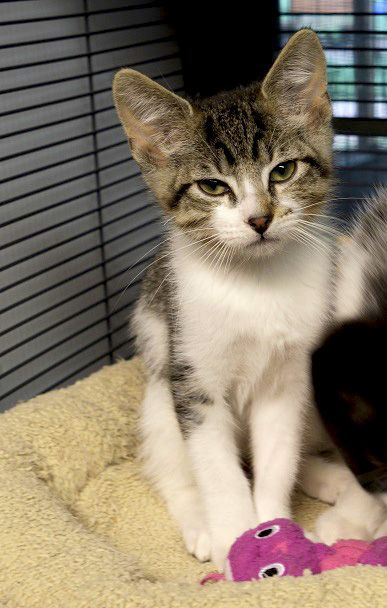 Kendrick Is A 2 Month Old Male Kitten Available For Adoption At Abandoned Animal Rescue In Tomball Tx Cat Adoption Animals Cats