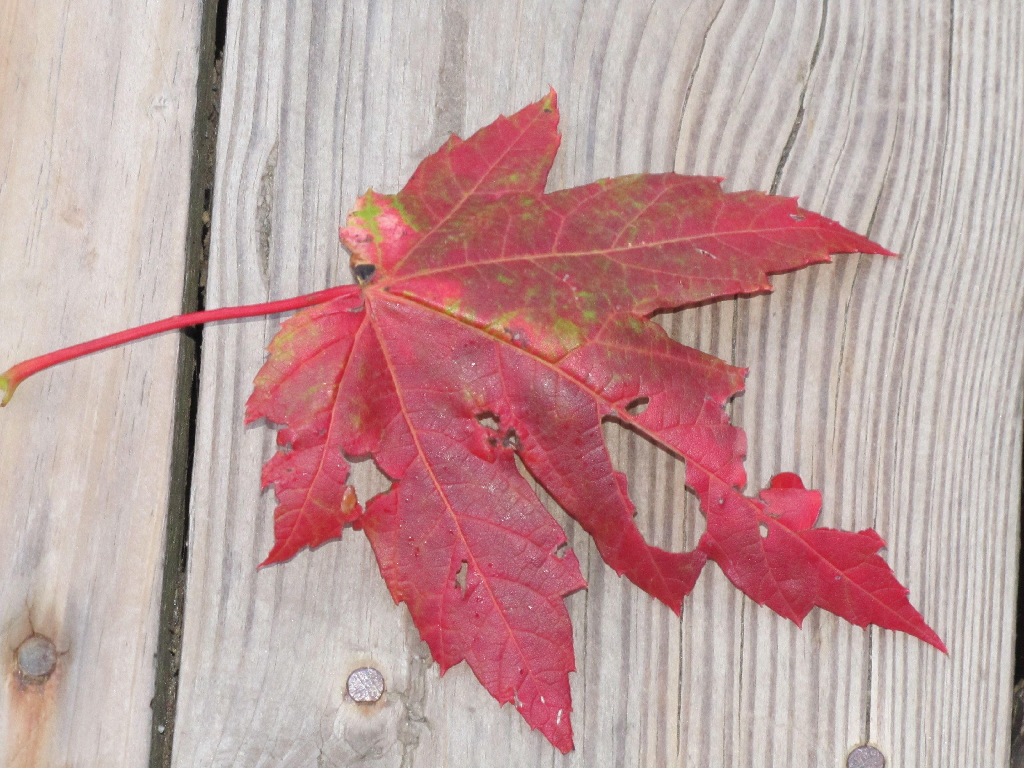 fall leaf!