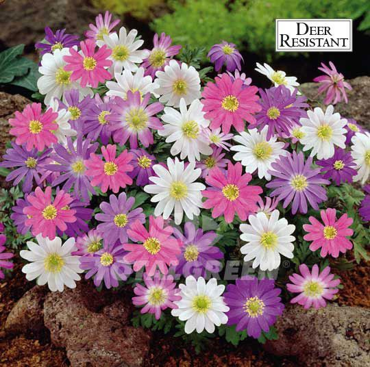 Anemone Blanda Mix Bulb Flowers Plants Winter Plants