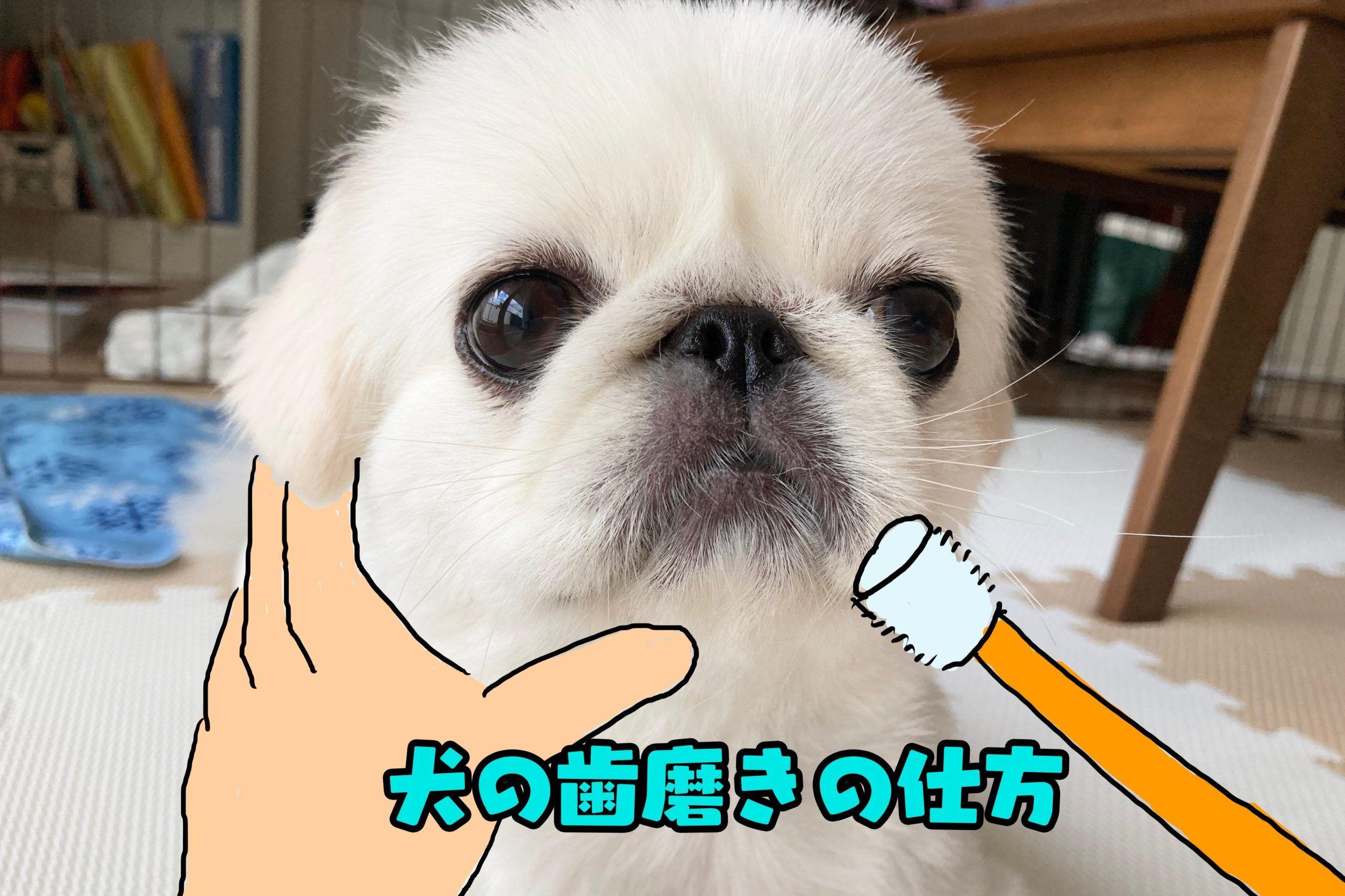 犬の歯磨きの仕方 簡単に成功した方法 ペキニーズ キニナル スイカ ペキニーズ 犬 歯磨き