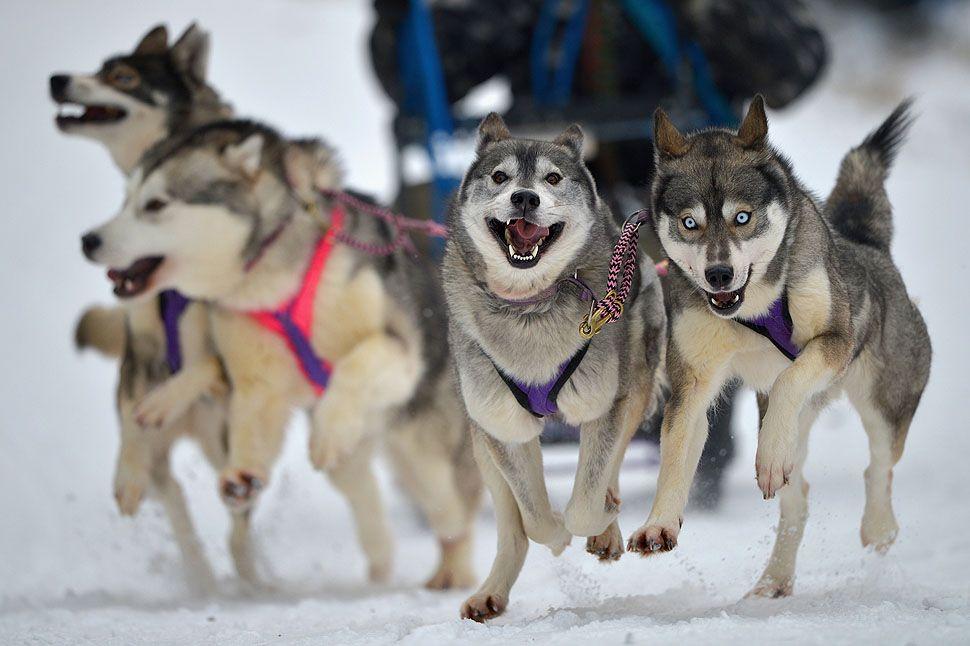 Sledding Dog Vest Google Search Smartest Dog Breeds Dogs
