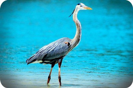 Meaning Of The Heron Totem Heron Pinterest