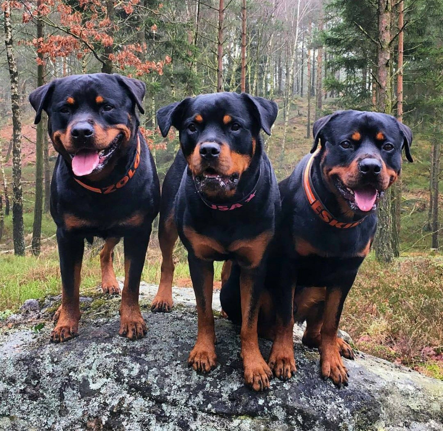 Pin By Tina Lonnie On Rottweilers Dog Breeds Rottweiler