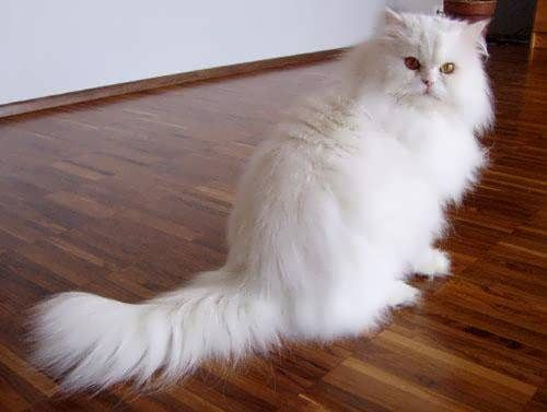 6 Persian Cat Allergies To Consider Popular Cat Breeds Most Popular Cat Breeds Cat Breeds
