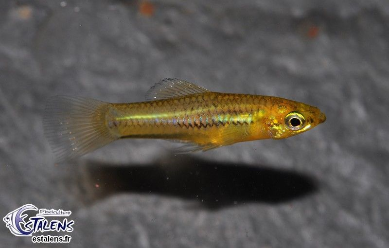 Pisciculture d'Estalens - Vivipares - Xiphophorus pygmaeus