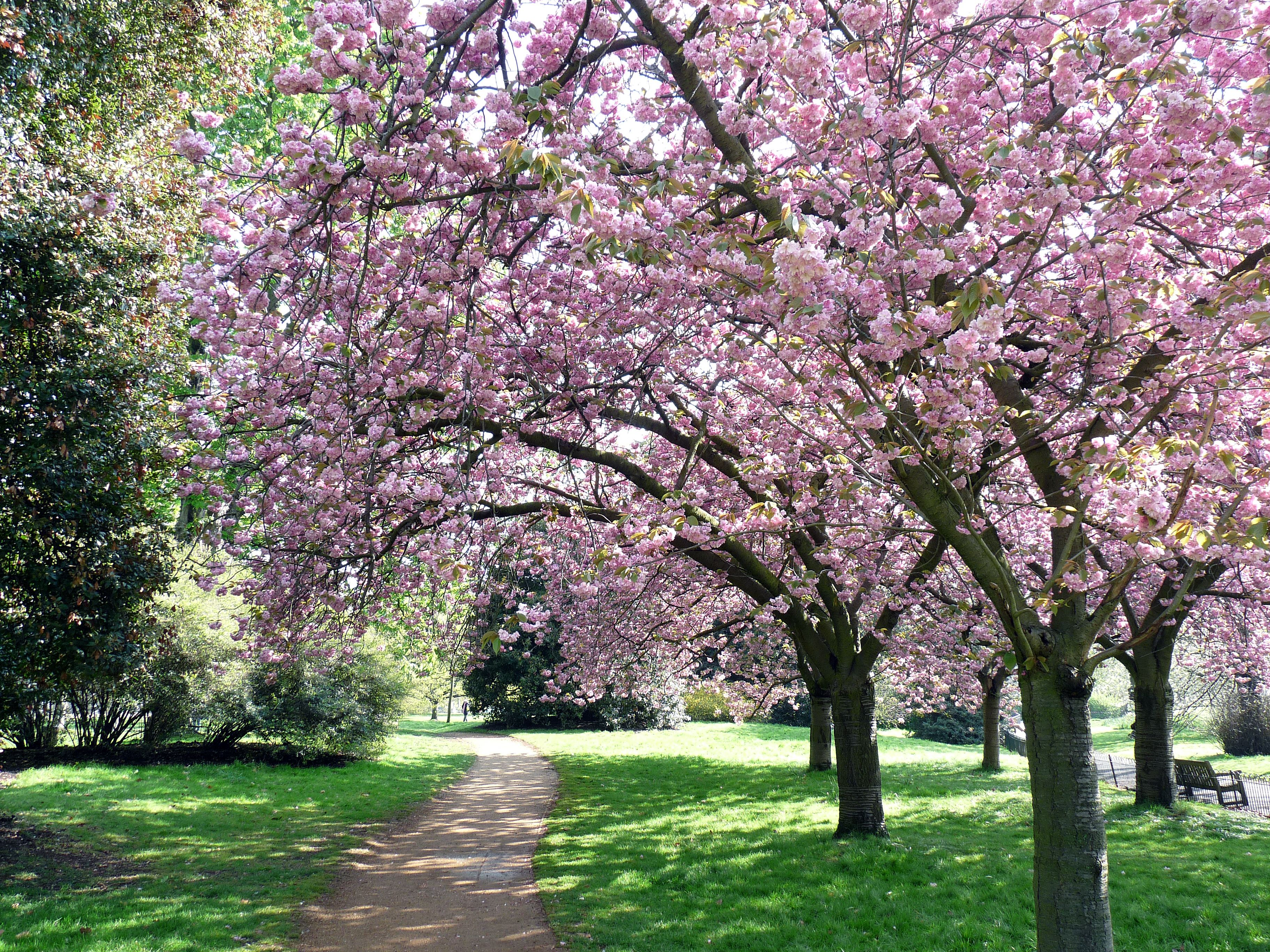 Cherry Blossom Cherry Blossom Images Cherry Blossom Dream Garden