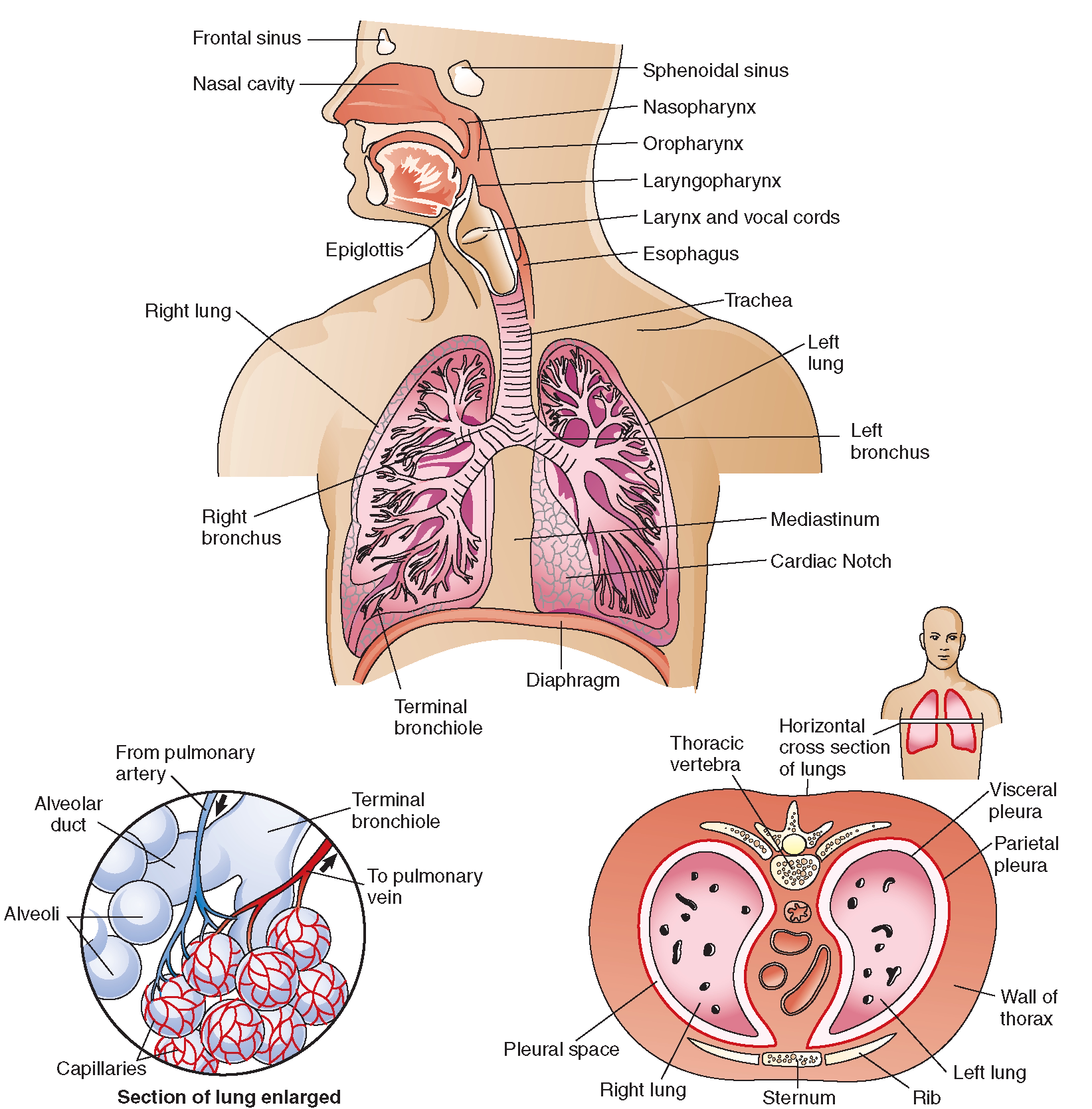 The respiratory system. Top, upper respiratory structures and the ...