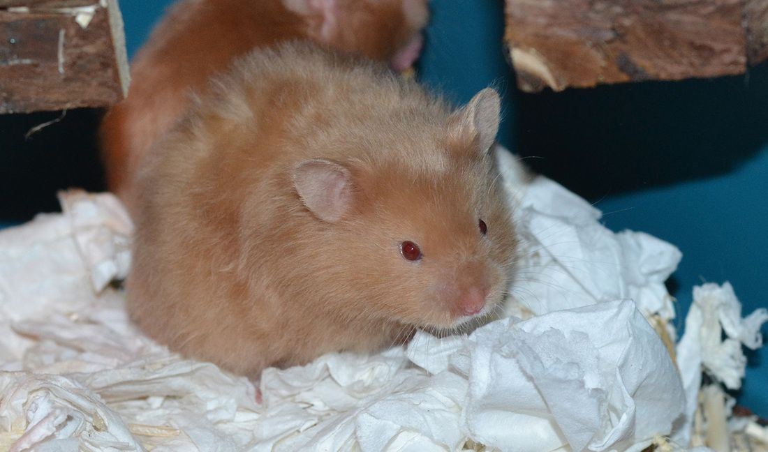 Pin On Syrian Hamster Colors Patterns