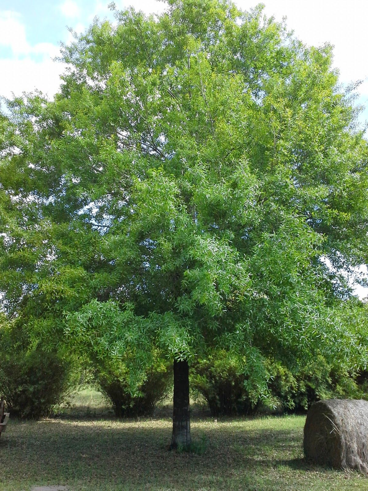 unforeseen river: Willow Oak, Quercus Phellos | Best Trees for ...