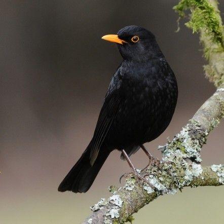 merle noir tatouage pinterest oiseaux oiseaux des. Black Bedroom Furniture Sets. Home Design Ideas
