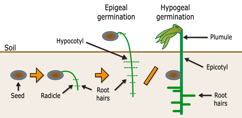 Schematic Of Epigeal Vs Hypogeal Germination Germination Plant Science Photosynthesis