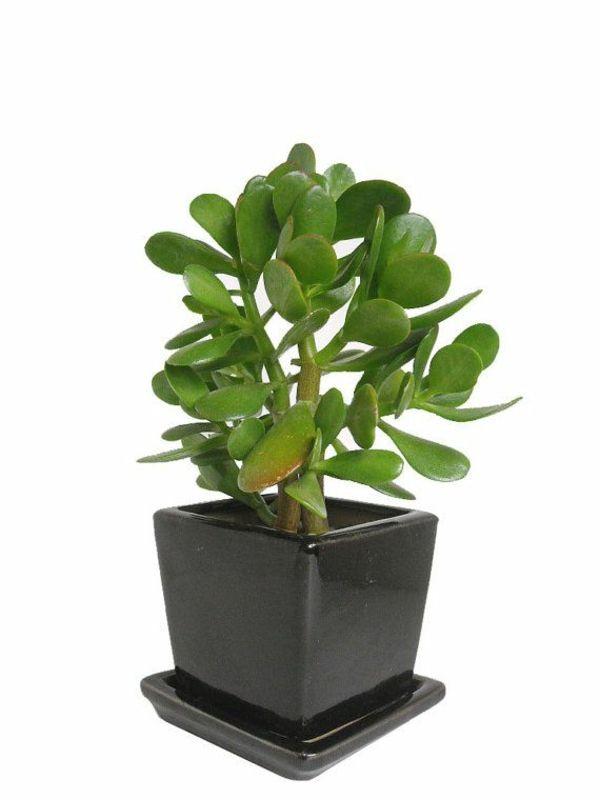 Grune Zimmerpflanzen Crassula Ovata Geldbaum Zimmerpflanzen