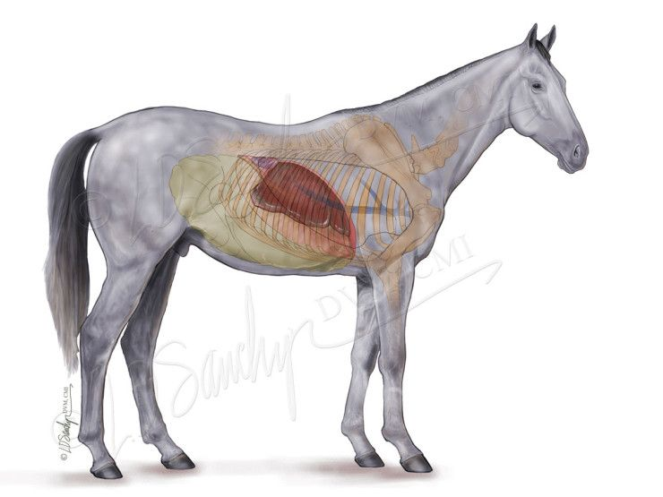 Equine Liver And Gastrointestinal Anatomy Veterinary Anatomy