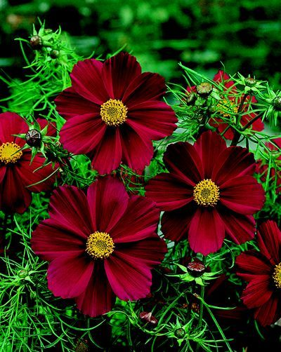 Red Cosmos Cosmos Flowers Cosmos Flower Pictures Flower Pictures