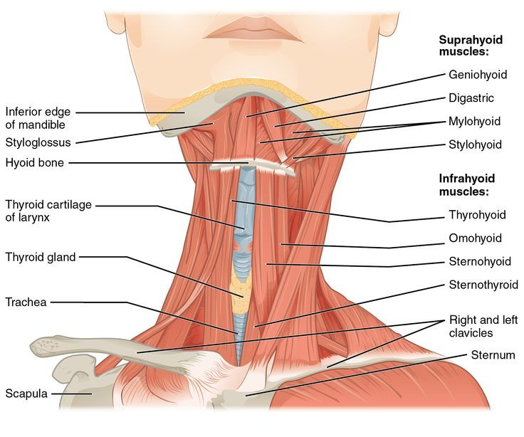 Anterior Triangle Of Neck - Health, Medicine and Anatomy Reference ...